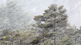 Snowing at Spring. Blizzard in Torronsuo national park at Tammela, Finland at spring. Pine trees stock photo