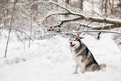 Snowing weather and huski. Huski is sitting on white snow around the forest with lots of trees Royalty Free Stock Images