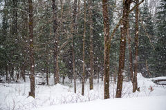 Snowing in a Winter Forest. Snowing in a forest during the winter season royalty free stock photography