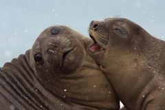 Snowing on Young Elephant Seals Royalty Free Stock Photography