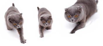Brittisk shorthairkatt på snow Arkivfoto