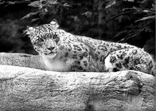 SnowLeopard Arkivfoto
