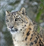 SnowLeopard. One SnowLeopard in the zoo royalty free stock photography