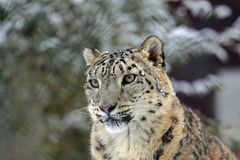 SnowLeopard. One SnowLeopard looks in the cam royalty free stock image