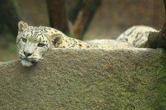 Snowleopard Royaltyfri Foto