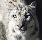 Snowlepard 免版税库存照片