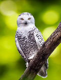 Snowly owl. With sharp eyes Royalty Free Stock Photography