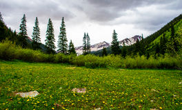 Snowmass Żółtego grochu Dzikiego kwiatu pola Skalistej góry łąka Obrazy Royalty Free