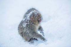 Snowmonkey,在雪的雪猴子在Jigokudani Onsen在长野, J 图库摄影