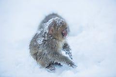 Snowmonkey, macaco da neve na neve em Jigokudani Onsen em Nagano, J Fotografia de Stock