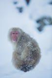 Snowmonkey snöapa på snö på Jigokudani Onsen i Nagano, J royaltyfri fotografi