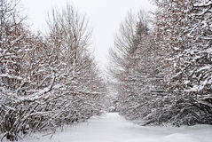 Snows. In the enchanted forest of larch and pine Stock Photos