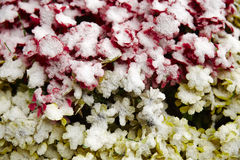 Snows on flowers Royalty Free Stock Photo