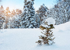 It snows in the winter forest Stock Photography