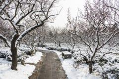 Snowscape холма цветения сливы Стоковое Изображение