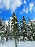 Snowscene avec des pins image libre de droits