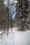Snowshoe ślad przez iglastego lasu pod niebieskim niebem, Zachodni Kelowna zdjęcia royalty free