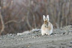 snowshoe зайцев интересный Стоковое Изображение