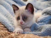 Snowshoe породы котенка, 2 monthes Стоковая Фотография