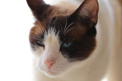 Snowshoe Burmese Cat. A close up view of a snow shoe Burmese cat Royalty Free Stock Photo