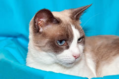 Snowshoe Cat Stock Photo