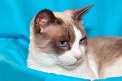 Snowshoe Cat stock photo
