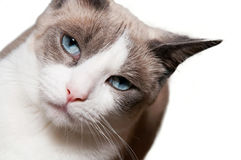 Snowshoe Cat Royalty Free Stock Image