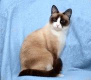 Snowshoe cat royalty free stock photos