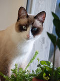 Snowshoe cat. Cat breed snowshoe sitting in window looking at camera Stock Photo