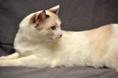 Snowshoe cat Stock Photography