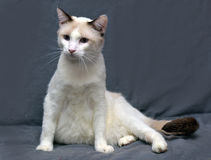 Snowshoe cat Royalty Free Stock Images