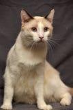 Snowshoe cat Royalty Free Stock Image