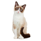 Snowshoe cat. Isolated on white Stock Image