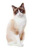 Snowshoe cat Stock Image