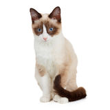 Snowshoe cat, isolated Stock Photography