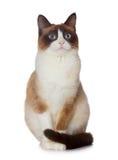 Snowshoe cat, isolated on white. Background Royalty Free Stock Photo
