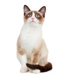 Snowshoe cat, isolated on white Stock Image