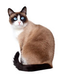 Snowshoe cat, a new breed originating in the USA, isolated on white background. Snowshoe cat, a new breed of cat originating in the USA Stock Photography