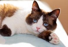 Free Snowshoe Cat Portrait Royalty Free Stock Photography - 133485797