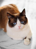 Snowshoe cat portrait. At home Royalty Free Stock Photo