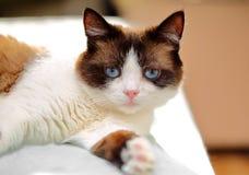 Snowshoe cat portrait Stock Photos