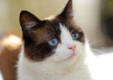 Snowshoe cat portrait. At home Royalty Free Stock Images