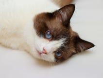 Snowshoe cat portrait Stock Image