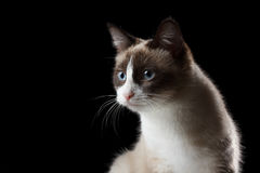 Snowshoe cat portrait, isolated Stock Photography