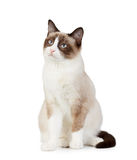 Snowshoe cat,. On white background Stock Photos