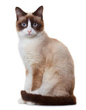 Snowshoe cat,  on white. Background Royalty Free Stock Photos