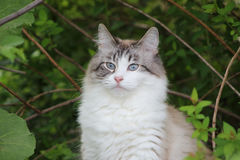 Snowshoe Female Cat. Posing for her photo Stock Images