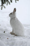 Snowshoe Hare. A Snowshoe Hare sitting under the spruce tree it was eating from in Littlefork, MN Royalty Free Stock Photos