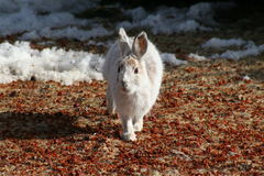 Snowshoe Hare. A Snowshoe Hare whose coat is starting to change for spring walking among the berries it has been eating that have been uncovered by the melting Royalty Free Stock Photos