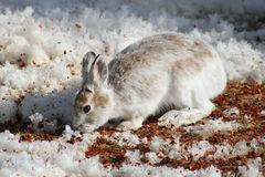 Snowshoe Hare. A Snowshoe Hare whose coat is starting to change for spring eating berries that have been uncovered by the melting snow in Littlefork, MN Royalty Free Stock Photography